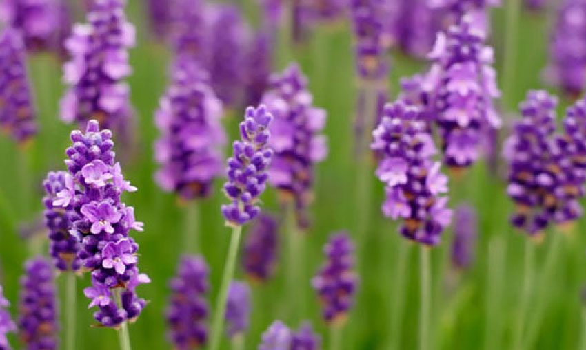 Purificando con Lavanda - AYNI MAGAZINE REVISTA DIGITAL